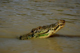 MH0231 Crocodile RS