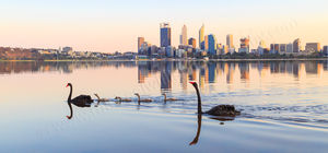Black Swans and Cygnets on The Swan River at Sunrise Landscape Photography Print