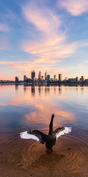 Black Swan at Sunrise Landscape Photography Print