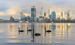 Black Swans at Sunrise Landscape Photography Print
