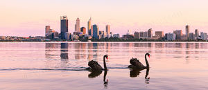 Black Swans on the Swan River at Sunrise Landscape Photography Print