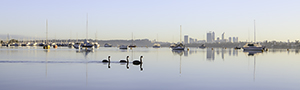 Black Swans on the Swan River at Applecross Landscape Photography Print
