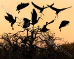 Glossy Ibis Silhouette