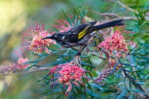 New Holland Honeyeater and Grevillea Photography Print