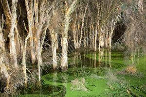 Paperbark Swamp Landscape Photography Print