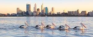 Swan River Pelicans at Sunrise Landscape Photography Print