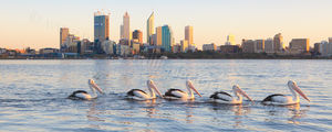 Swan River Pelicans at Sunrise Landscape Photography Print