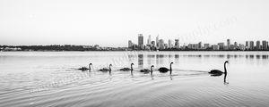 Swans 3 Landscape Photography Print