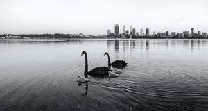 Swans Landscape Photography Print