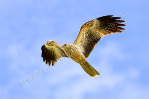 Whistling Kite Photography Print