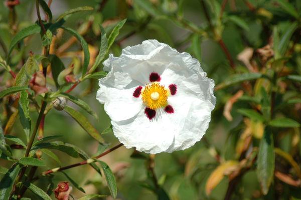 Exotic Poppy