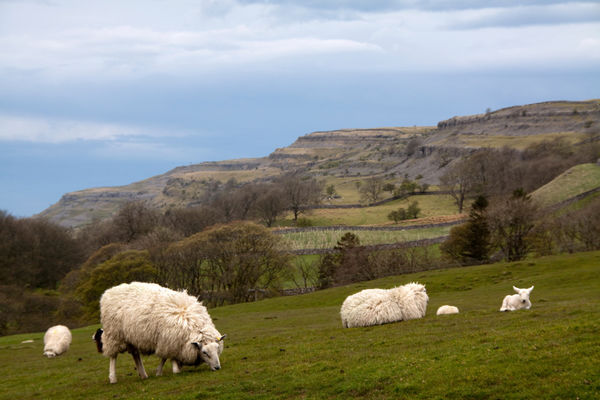 Sheep Yorkshire Dales