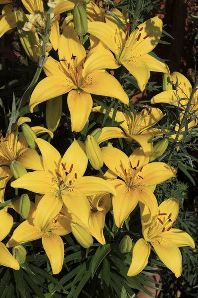 Lily (Lilium) Flower