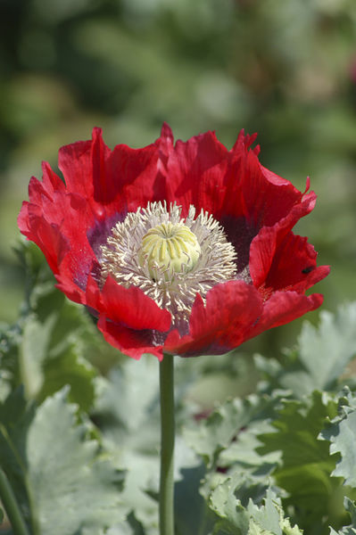 Poppy (Papaverales) Flower