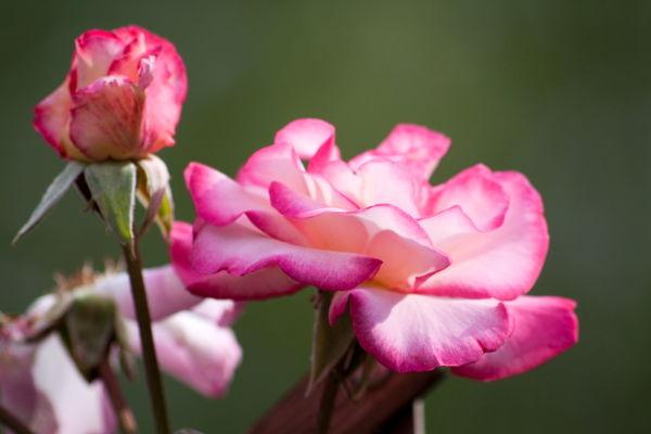 Roses Rosa