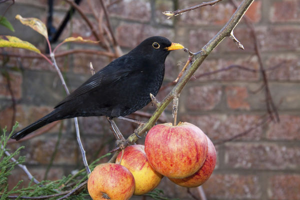 Blackbird on Apples