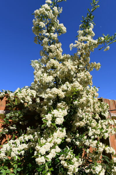 Pyracantha Flower in the Spring