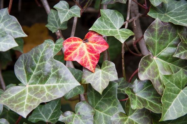 Ivy Hedera