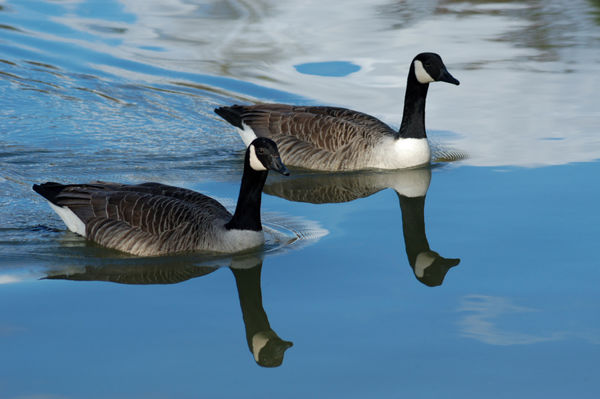 Canadian Geese Branta canadensis