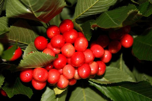 Cherry Tree (Prunus avium)