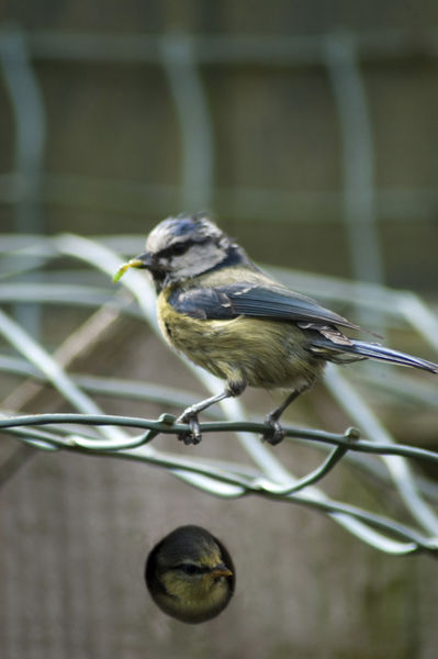 Blue Tit-with Baby