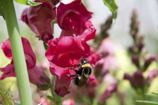 Bumble Bee on SnapDragon