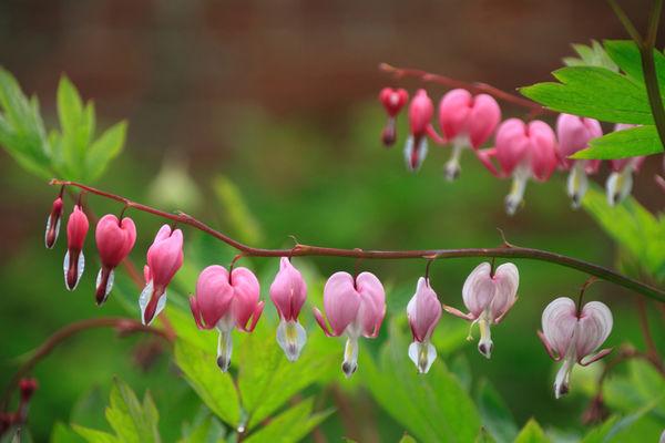 Bleeding Hearts (Lamprocapnos spectabilis) Flower