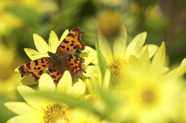 Comma Butterfly on Flower