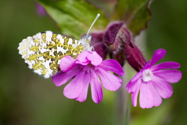 Butterfly on Flower 2