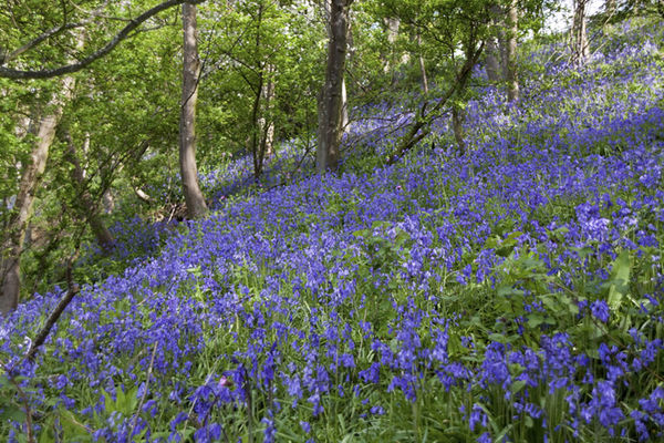 Blue Bells on Hillside
