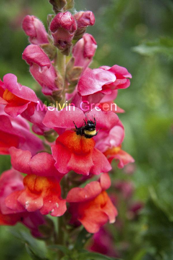 Bee in Snapdragon (Antirrhinum)