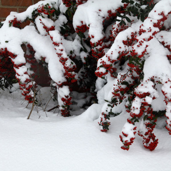 Berries in the Snow 1