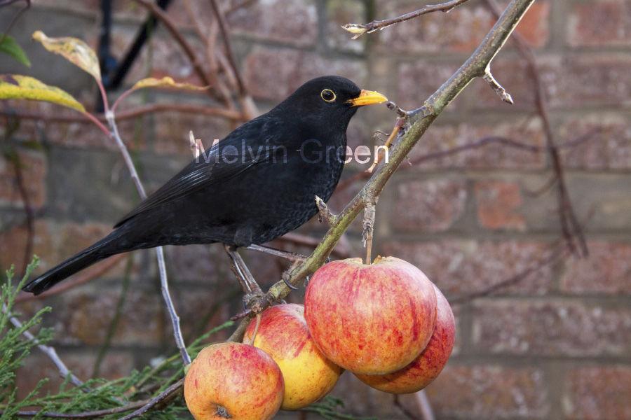 Blackbird on Apples