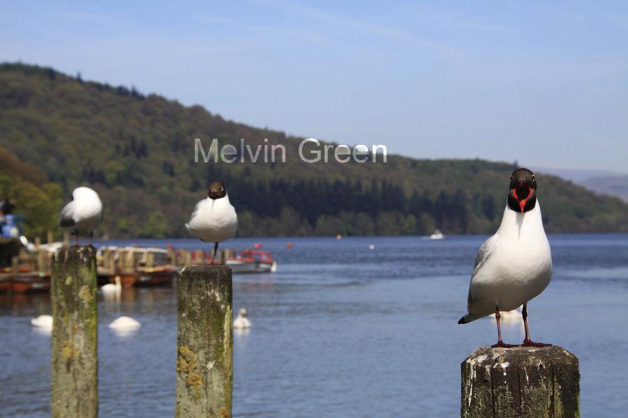Blackheaded Gulls