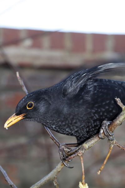 Blackbird on Branch