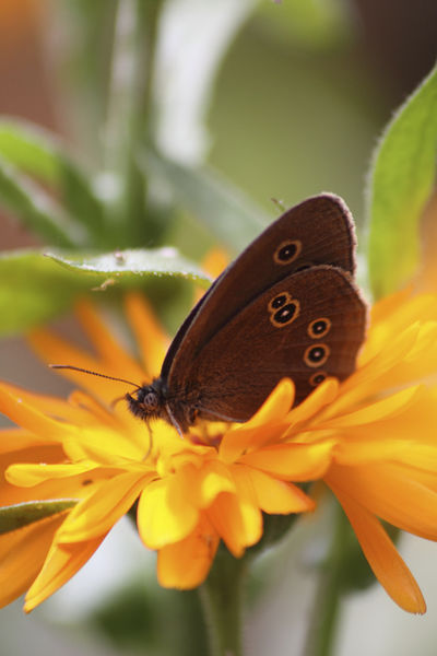 Common Butterfly on Flower  Rhopalocera
