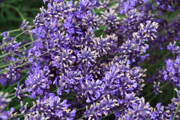 Lavender (Lavandula) Flower