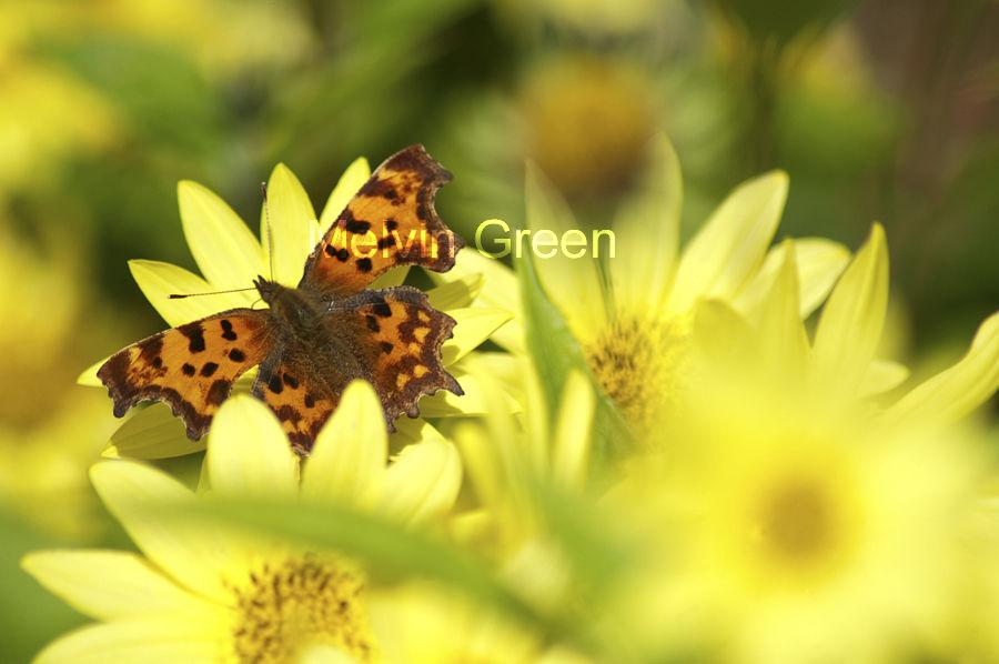 Comma Butterfly on Flower