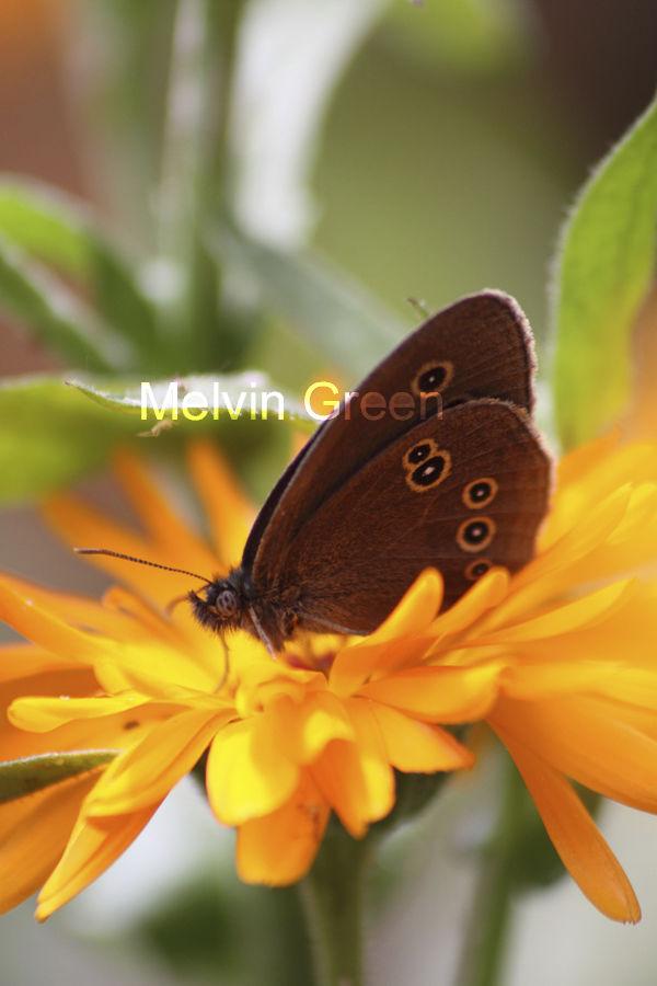 Common Butterfly on Flower  Rhopalocera