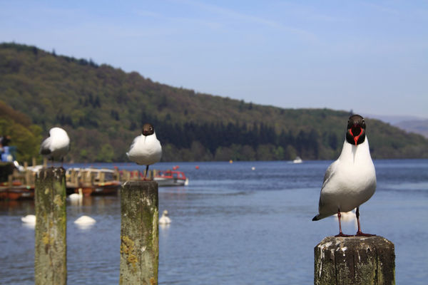 Blackheaded Gulls