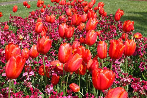 Tulip Flower (Tulipa)