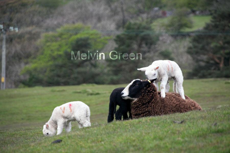 Lamb on Sheeps back