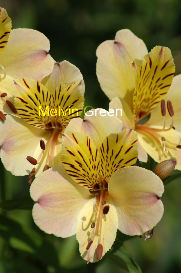 Peruvian lily (Alstroemeria) Flowers