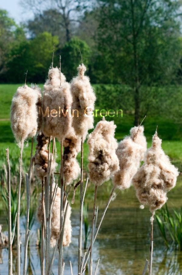 Bulrushes Scirpoides holoschoenus