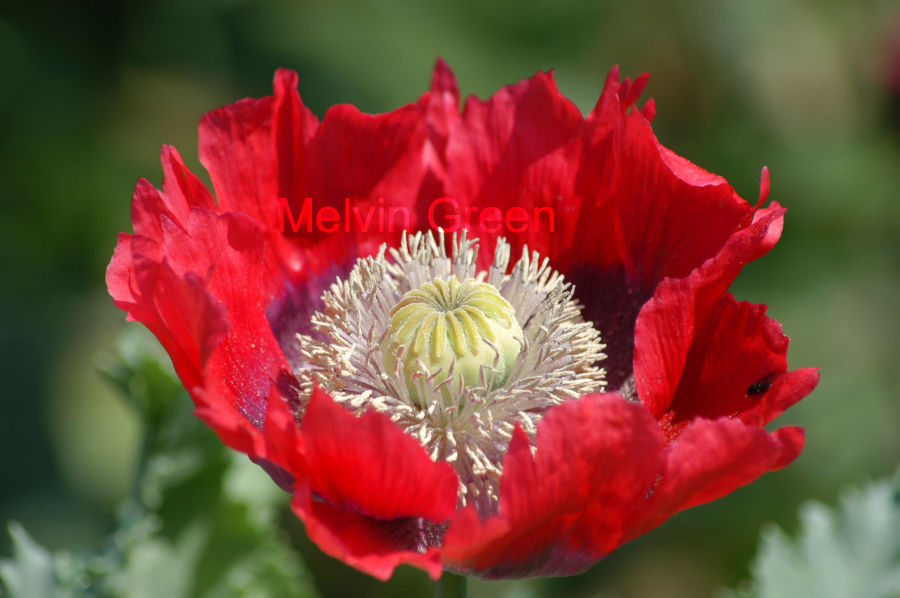 Poppy Flower (Papaverales)