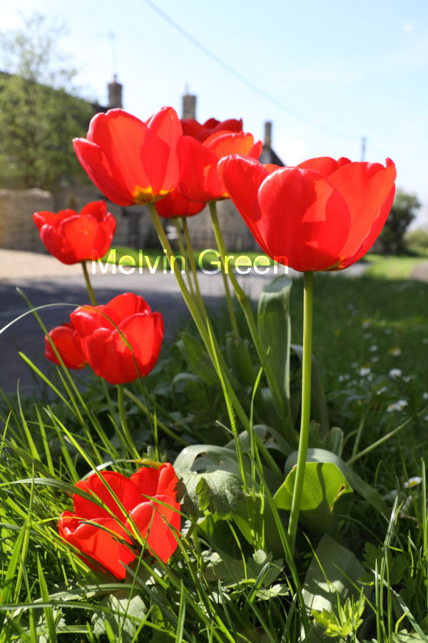 Red Tulips Tulipa
