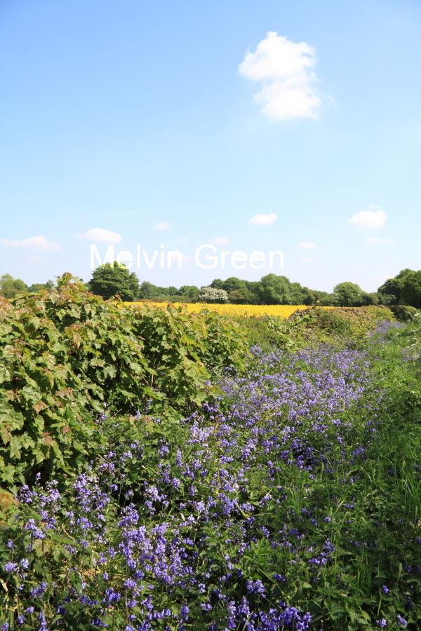 Bluebell Hedge