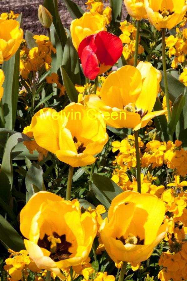 Yellow Tulips Flowers (Tulipa)