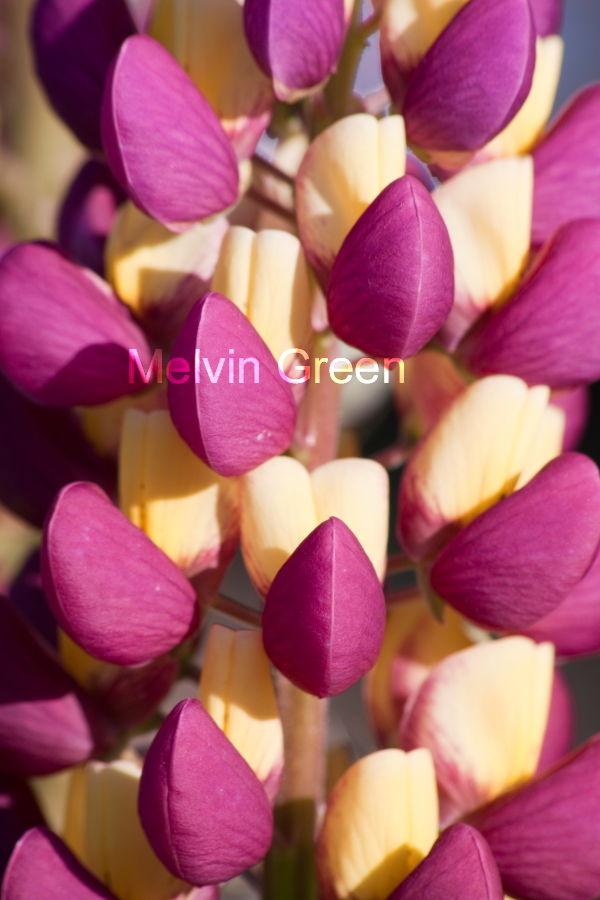 Lupine Flower (Lupinus)
