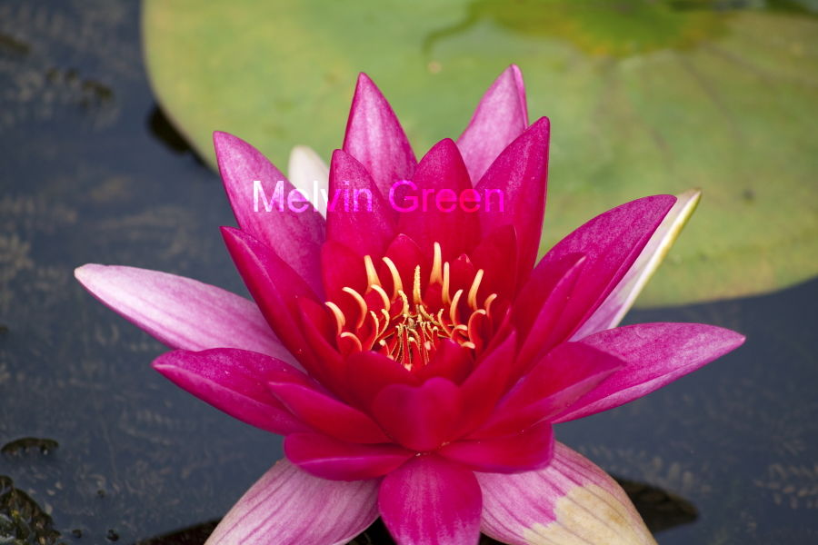 Pink Water Lily ( Nuphar Lutea)